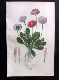 Edward Step 1897 Botanical Print. Double Daisies